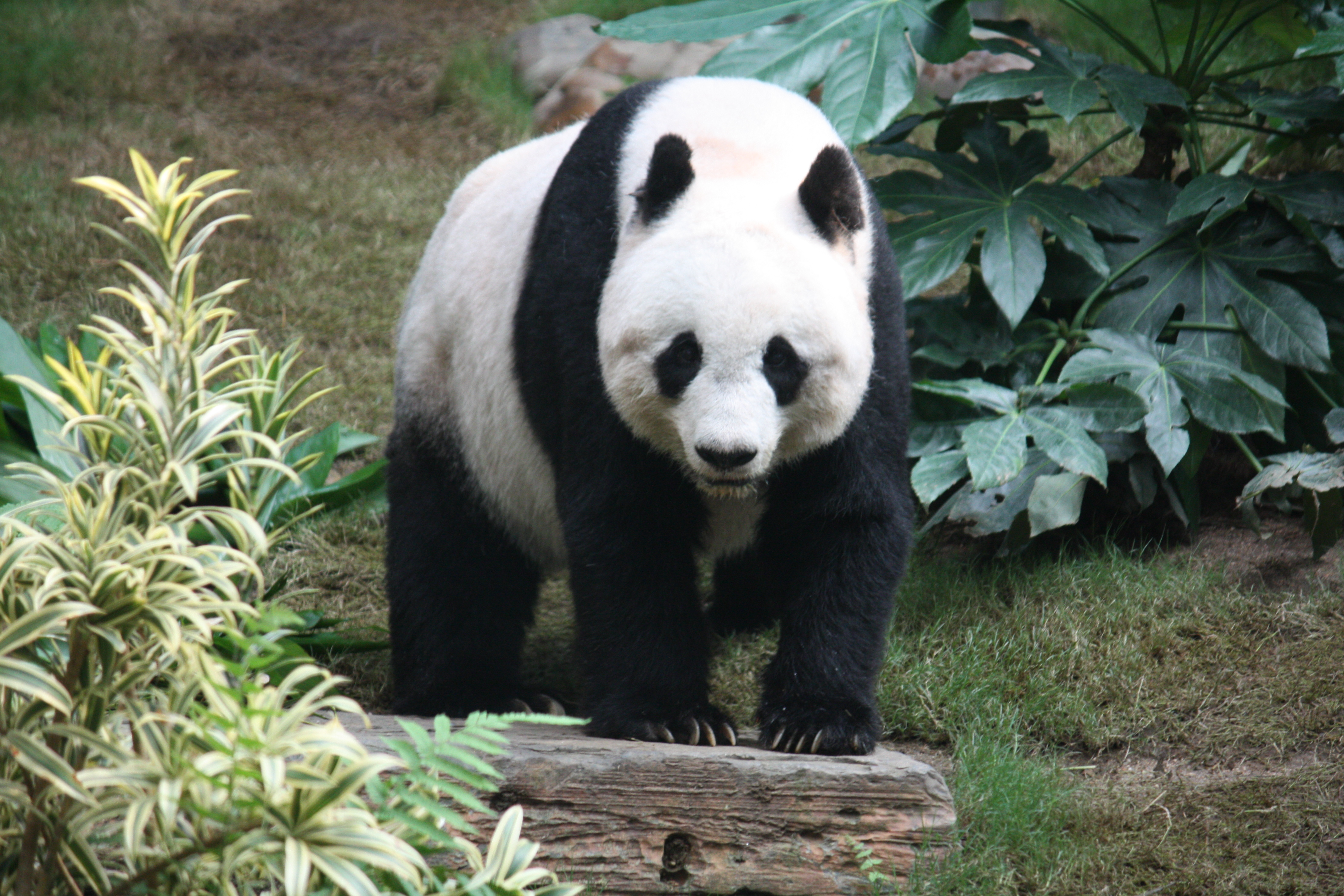 an overview of the diet and other characteristics of the panda a bear species (tremarctos ornatus), sun bear (helarctos malayanus), polar bear (ursus maritimus), panda bear diet, physical characteristics unlike other bear species.