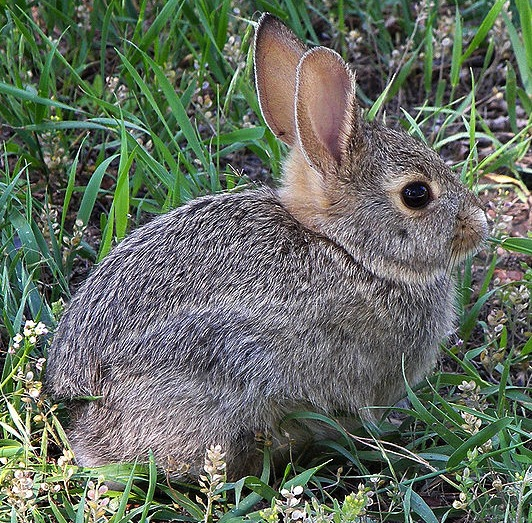 File:Rabbit in montana.jpg