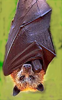 File:Golden crowned fruit bat.jpeg