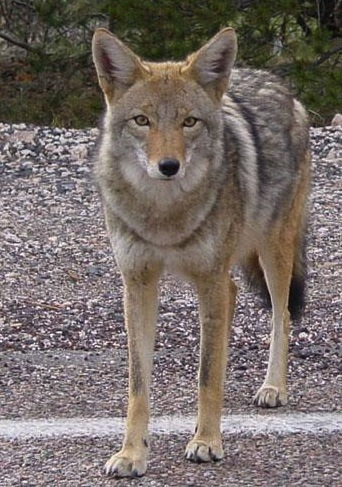 File:Coyote arizona.jpg