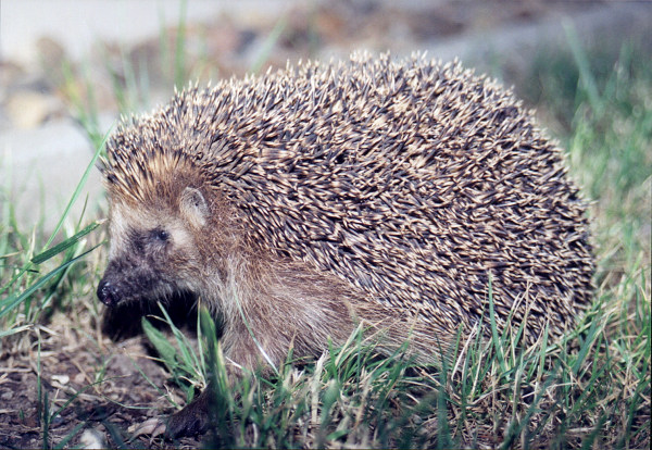 File:Hedgehog.jpg