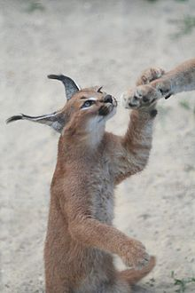 File:Caracal kitten.jpg