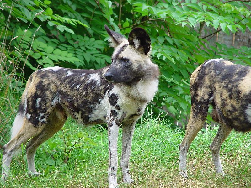 Image Result For Wild Canine Dog
