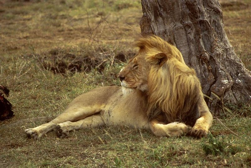 File:African Lion Male.JPG