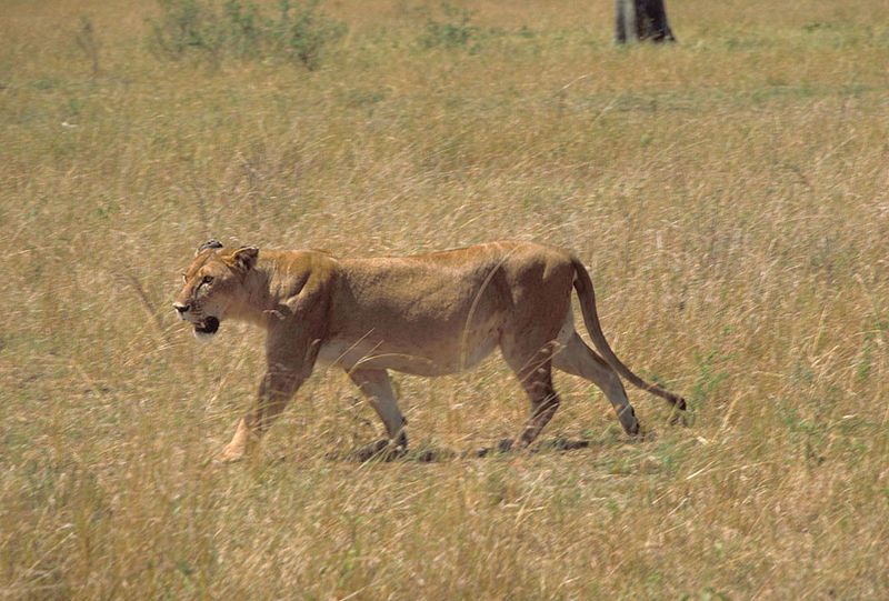 File:African Lion Female.jpg