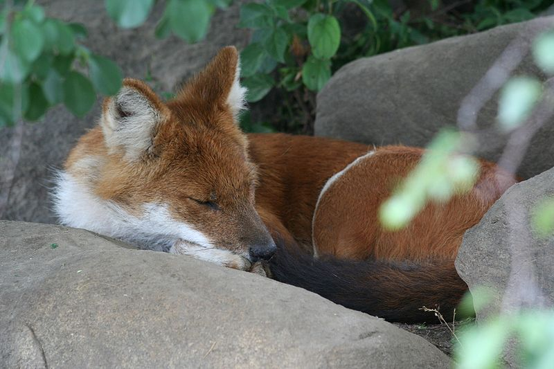 File:Sleeping Dhole.jpg