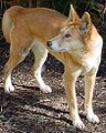 Dingo-Photo-Karen Johnson.jpg