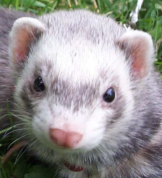 File:Domestic-ferret-face.jpg