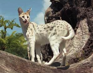 Serval Species Wikifur The Furry Encyclopedia