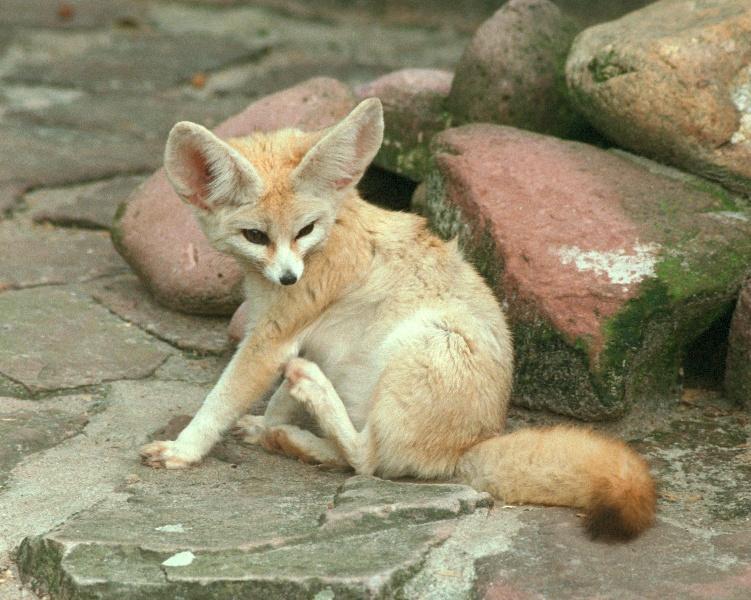 Fursona Fennec Fox