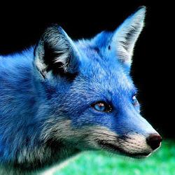 That Blue Fox Wikifur The Furry Encyclopedia