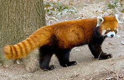 Red Panda Wikifur The Furry Encyclopedia